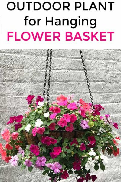 Shade-Loving Outdoor Plant For A Flower Hanging Basket